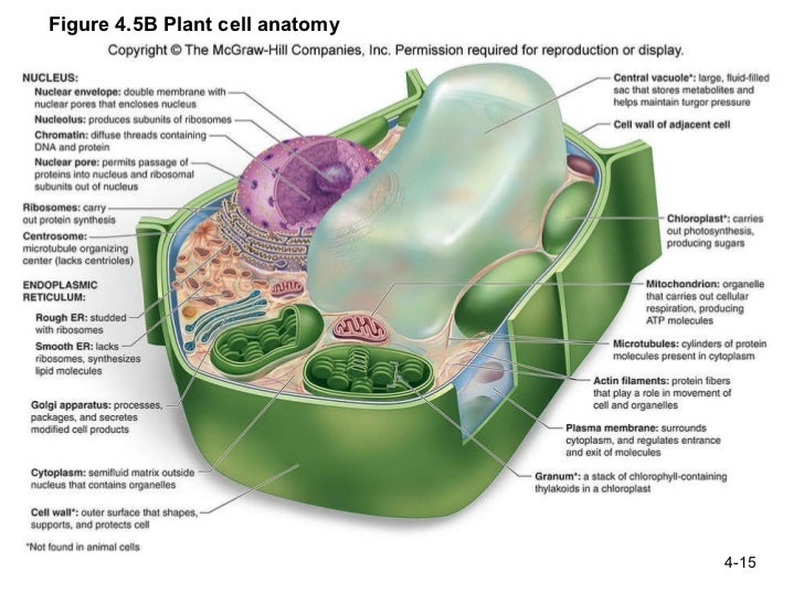 Animal cell labeled biology