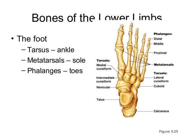 Ch 5 Skeletal System