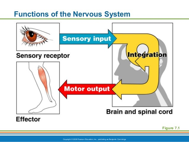 ch7appt nervous function and cells, Human body