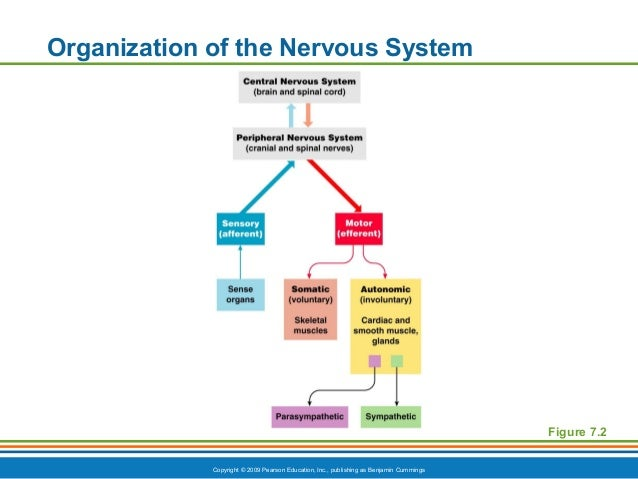 Overview of the Autonomic Nervous System  Brain Spinal