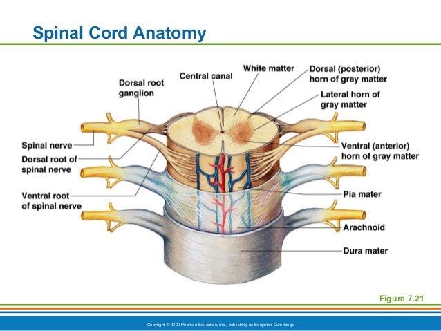 Spine Diagram Pearson Diy Enthusiasts Wiring Diagrams