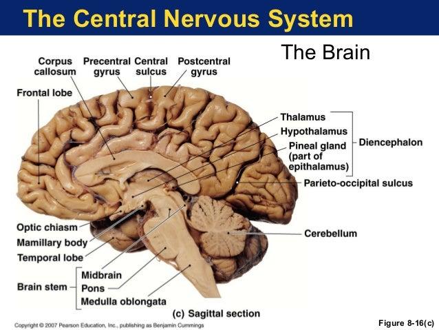 Sagittal View Of The Human Brain Figure 8 5 Binge Thinking