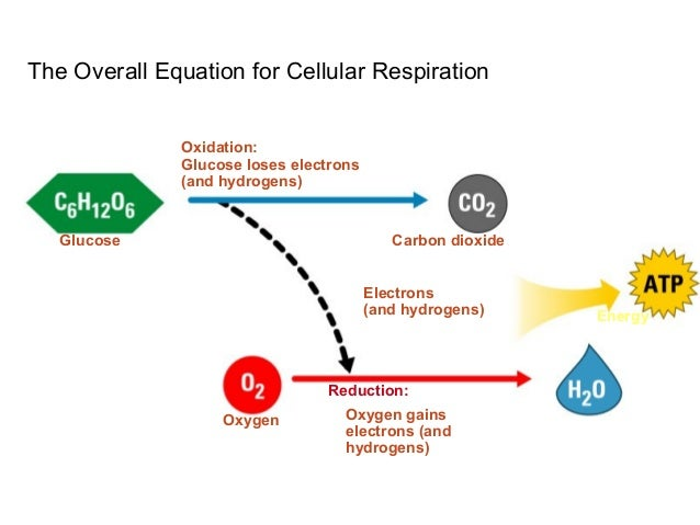 ap biology introduction to cellular respiration ch 7
