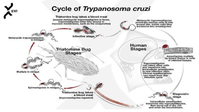 Chagas Disease (American Trypanosomiasis)