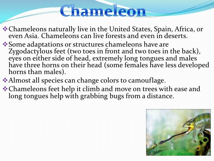  Chameleons naturally live in the United States, Spain, Africa, or  even Asia. Chameleons can live forests and even in de...