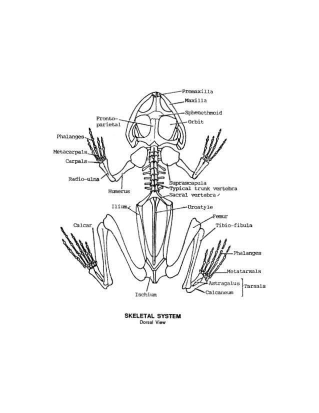 Frog Skeletal System Diagram To Label Electrical Work Wiring Diagram