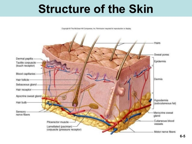 Chap06 Integumentary System