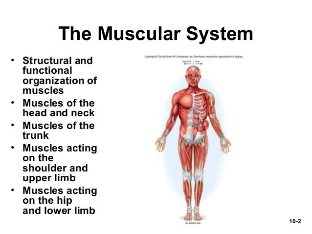Powerpoint Presentation Muscular System By Marieb