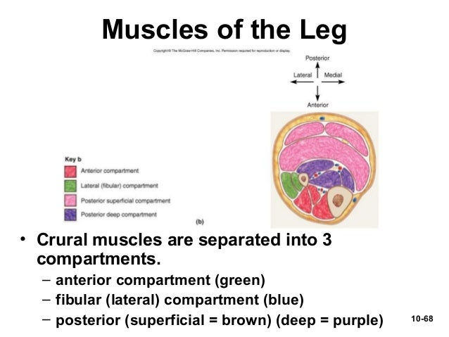 Chap10 powerpoint muscular system 10 67 anterior thigh cadaver muscles 68 ccuart Choice Image