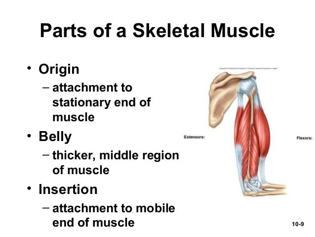 Chap10 powerpoint Muscular System