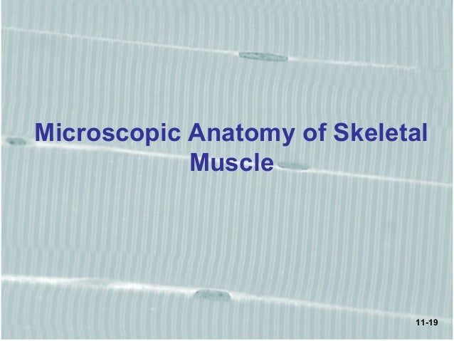 Chap11 Muscle Tissue