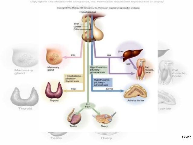 hypothalamo hypophyseal relationship