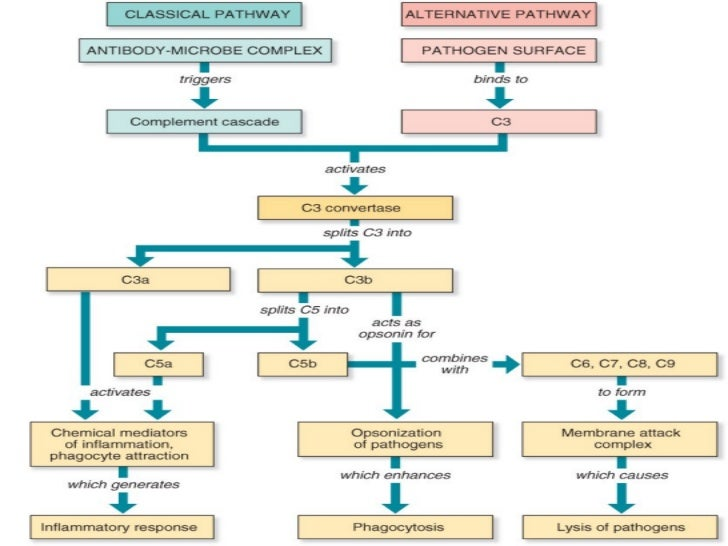 immune system and classical pathway Yes, the complement system is part of the innate immune system it can be activated by the: classical pathway (activated through bound igm and igg molecules but also.