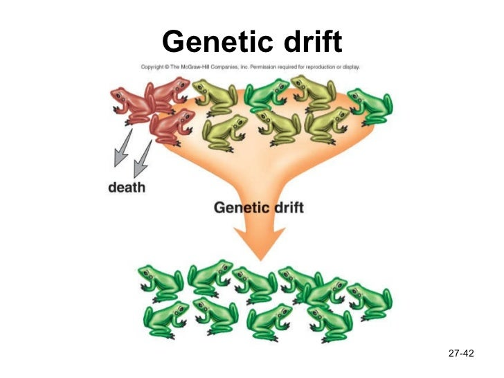 effects of genetic drift essay The hardy weinberg theorem in genetics biology essay  and the speed that alleles become fixed within a population compared with the effects of genetic drift .