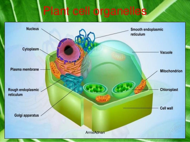 Chap 2 cell structure and cell organisation plant cell organelles arnieadnan ccuart Images