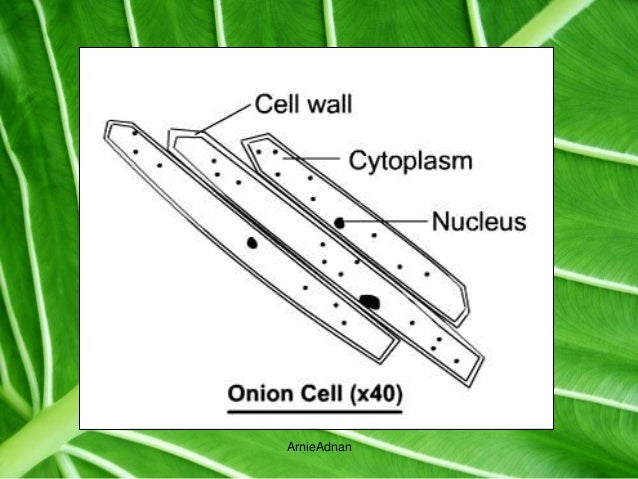2 5 1 cell structure gizmo 1 student exploration gizmo cell structure answer sheet bing 2 5 1 cellstructure 251 cell structure vocabulary cell , plant cells have a large central.