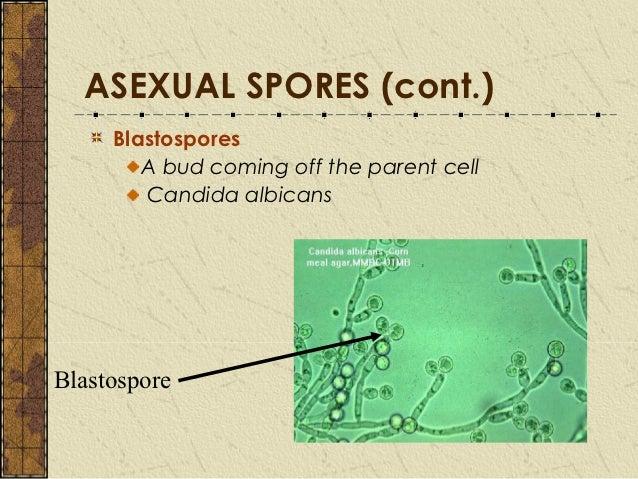 Penicillium notatum asexual reproduction budding