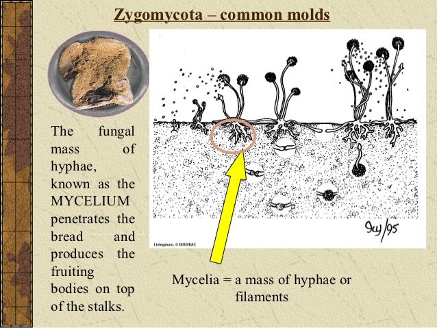 Divisi zygomycota asexual reproduction