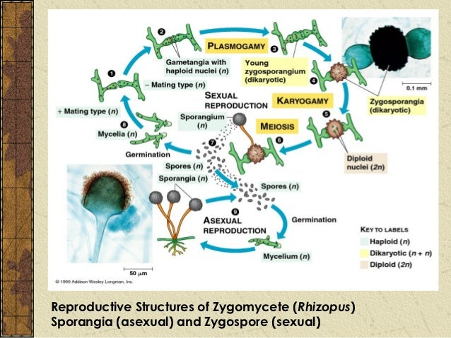 Divisiones zygomycota asexual reproduction