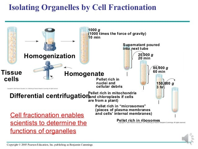 isolation and study of organelles from Methods of protein isolation and study there are many different ways of studying protein and function  they break open the cell to release organelles in an .