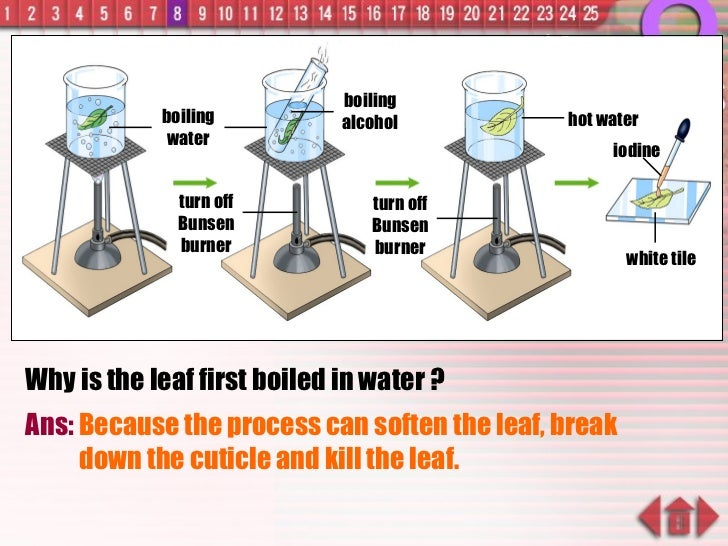 Why is the leaf first boiled in water ? Ans:  Because the process can soften the leaf, break down the cuticle and kill the...