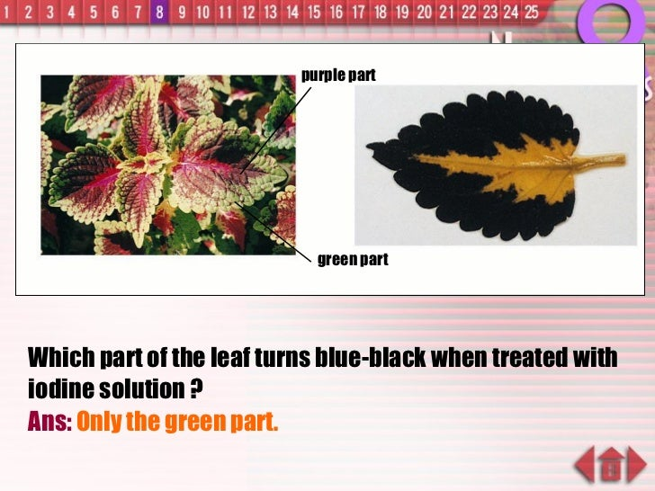 Which part of the leaf turns blue-black when treated with iodine solution ? Ans:  Only the green part. green part purple p...
