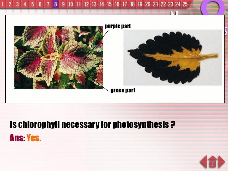 Is chlorophyll necessary for photosynthesis ? Ans:  Yes. green part purple part