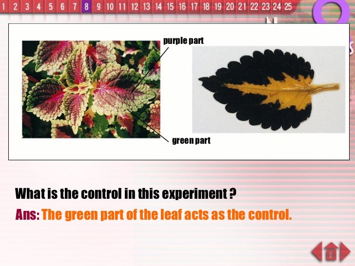 What is the control in this experiment ? Ans:  The green part of the leaf acts as the control. green part purple part