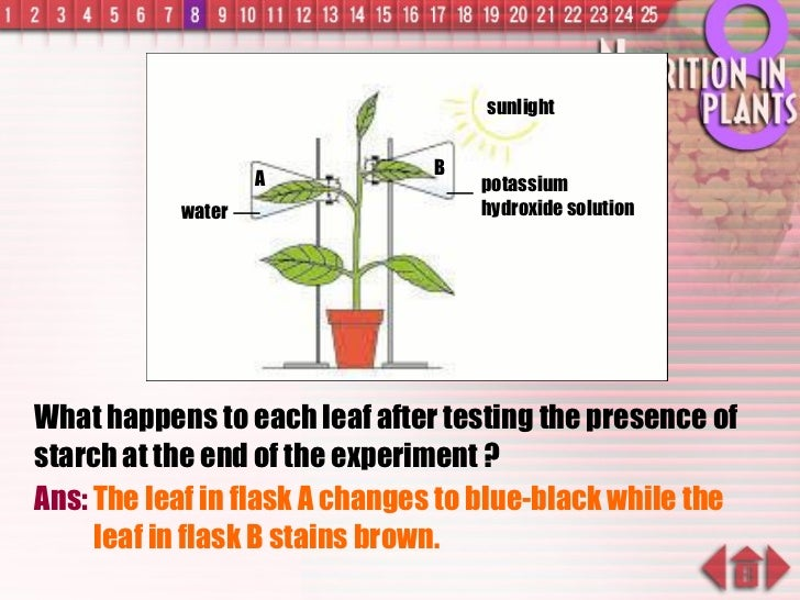 What happens to each leaf after testing the presence of starch at the end of the experiment ? Ans:  The leaf in flask A ch...