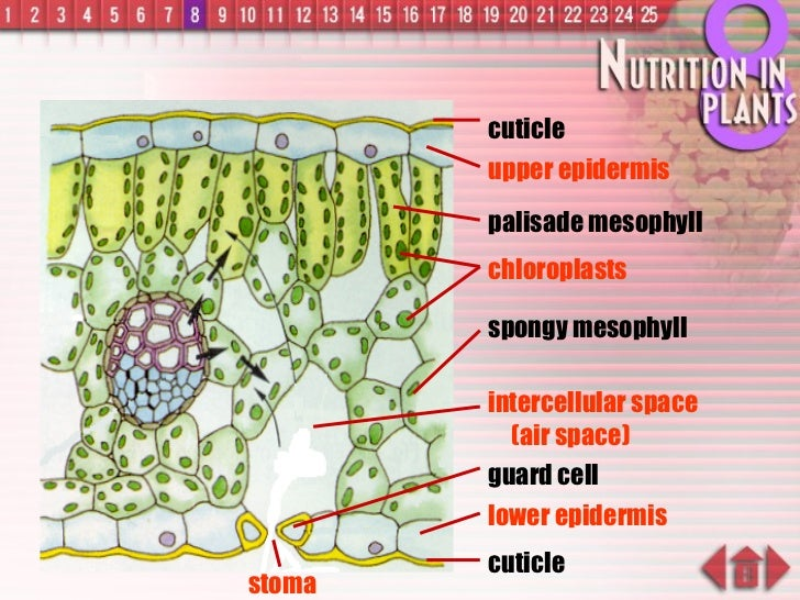 cuticle upper epidermis palisade mesophyll spongy mesophyll intercellular space   (air space) guard cell lower epidermis c...