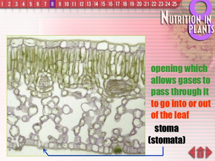 stoma (stomata) opening which allows gases to pass through it  to go into or out of the leaf