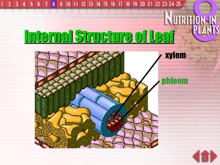 Internal Structure of Leaf xylem phloem