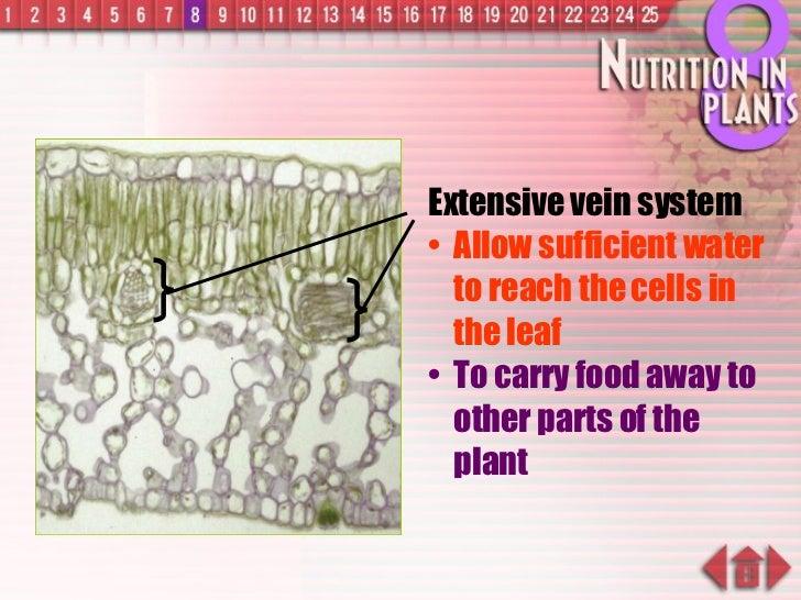 <ul><li>Extensive vein system </li></ul><ul><li>Allow sufficient water to reach the cells in the leaf </li></ul><ul><li>To...