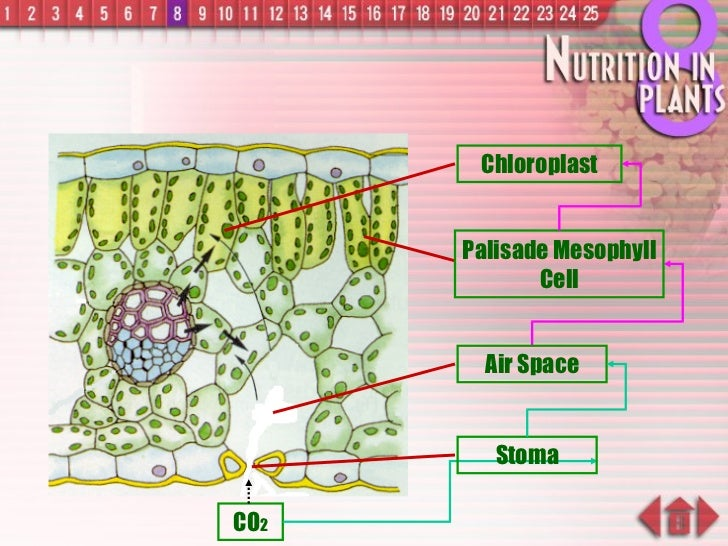 CO 2 Chloroplast Palisade Mesophyll Cell Stoma Air Space