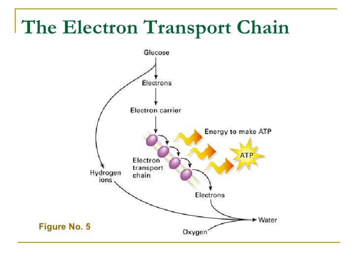 Chap 7 concept checks the electron transport chain figure no ccuart Choice Image