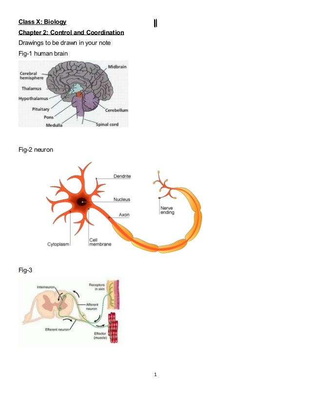 Class X: BiologyChapter 2: Control and CoordinationDrawings to be drawn in your noteFig-1 human brainFig-2 neuronFig-31