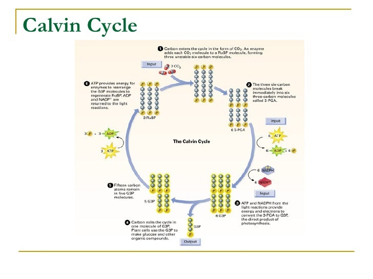 Calvin cycle diagram quiz introduction to electrical wiring diagrams chap 8 concept checks rh slideshare net cell cycle quiz calvin cycle diagram worksheet ccuart Images