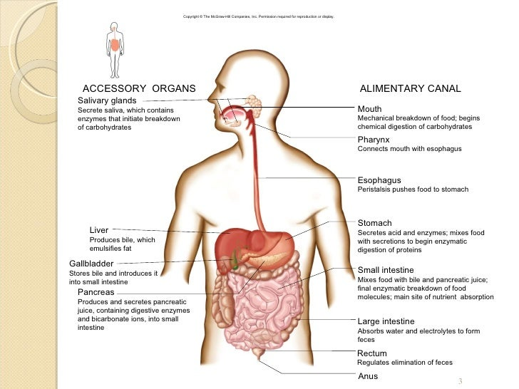 Which Of The Following Is An Accessory Organ Of Digestion New Chapt60 Digestive System