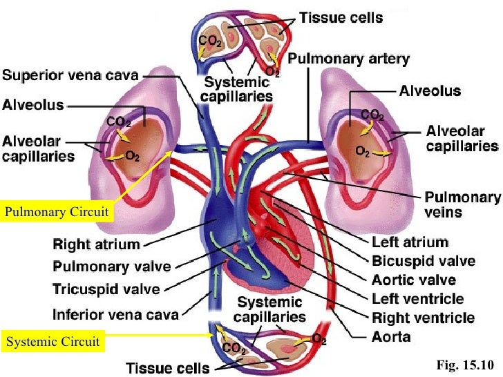 function of the cardiovascular system Introduction to the cardiovascular system the cardiovascular system is sometimes called the blood-vascular, or simply the circulatory, system it consists of the heart, which is a muscular pumping device, and a closed system of vessels called arteries, veins, and capillaries.