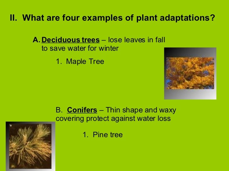 what adaptations do the pine trees Why trees grow where they do 1 adaptations over time 2 adaptations over time • trees have been adapting to their – pitch pine dry adaptations over time.
