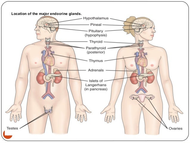 where are the major endocrine glands located