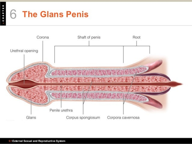 where is the glans penis located