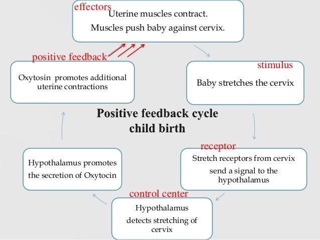 Positive Feedback Loop Childbirth Chapter 1