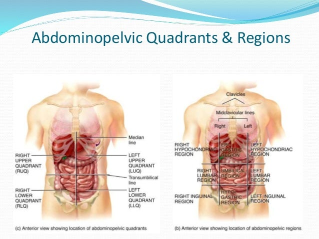 Chapter 1 introduction to anatomy and physiology abdominopelvic quadrants regions 59 publicscrutiny Images