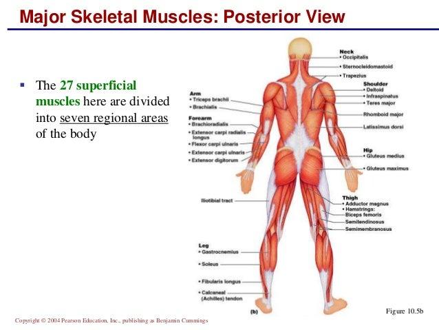 Major Skeletal Muscles Diagram Quiz Diy Enthusiasts Wiring Diagrams