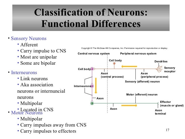 Chapter 10 Nervous System I Basic Structure And Function