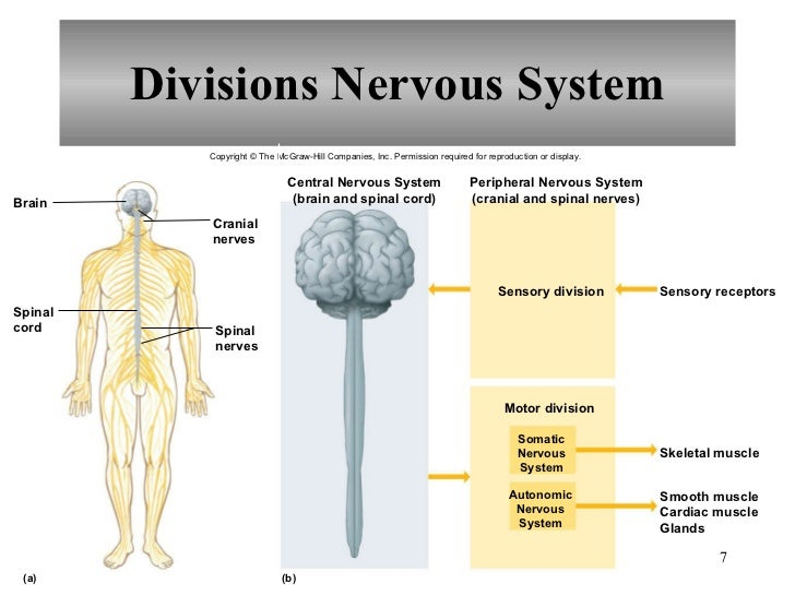 Chapter 10 nervous system i basic structure and function ccuart Choice Image