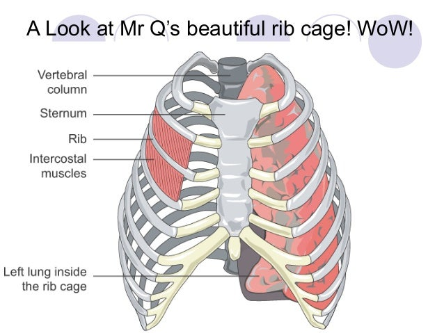 Lung Rib Cage Diagram Trusted Wiring Diagram