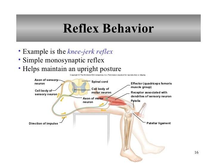Diagram Of The Knee Jerk Reflex on Digestive System Worksheet First Grade