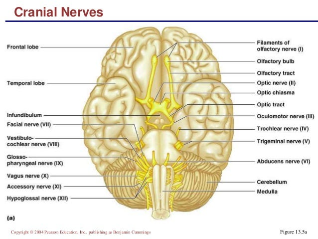 Chapter 11 and 13a nervous tissue and cranial nerves